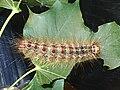 Gypsy moth caterpillar (Lymantria dispar).jpg