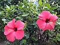 HK ML 香港半山區 Mid-levels 雅賓利道 Albany Road flora red flowers April 2020 SS2 01.jpg