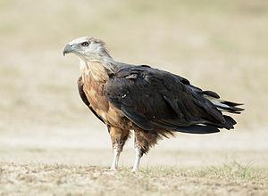 Pallas's fish eagle - At Jim Corbett National Park, Uttarakhand, India