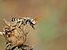 Halictus tetrazonianellus male 2.jpg