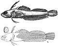 Haptoclinus apectolophus holotype, ANSP 121251 - ZooKeys-306-071-g003.jpeg