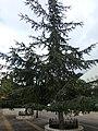 Harissa, Lebanon Cedar.jpg