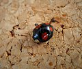 Harlequin Ladybird (49132845021).jpg