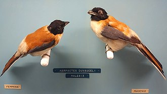 Scarlet-rumped trogon - female (left) and male (right)