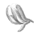 Harpalyce brasiliana flower Taub116a.png