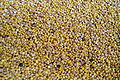 Harvested seeds of homegrown Chenopodium quinoa.jpg