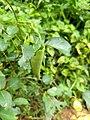 Hasora badra, Common Awl, pulliyaara .jpg