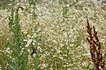 Haussperling (Passer domesticus), Weikersheim (House Sparrow (Passer domesticus), Weikersheim) - geo.hlipp.de - 12961.jpg