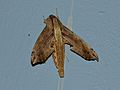 Hawkmoth (Eupanacra regularis) (8537300433).jpg