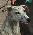 Head of Whippet 6.jpg