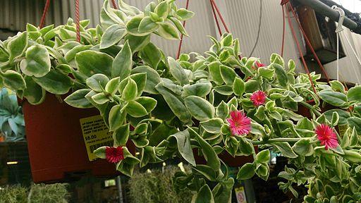 Heartleaf Ice Plant (Aptenia cordifolia 'Variegata') 1