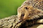 Hedgehog - British Wildlife Centre (17333312545).jpg