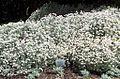 Helichrysum argyrophyllum - SA.jpg