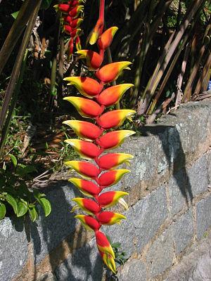 Rostrata - Heliconia rostrata flowers showing characteristic beak shape