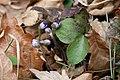 Hepatica nobilis Hvozdec.jpg