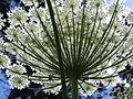 Heracleum mantegazzianum au jardin Jungle.jpg
