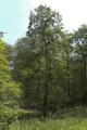 Herbstein Lanzenhain Oberwald Wannersbruch NR 319289 W Alnus glutinosa b.png