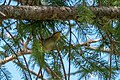Hermit Warbler (immature) Rd to Pinery Campgrd Portal AZ 2019-08-14 10-12-42 (48595071521).jpg