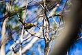 Hermit thrush (37299415080).jpg