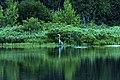 Heron Before Sunrise (19110503759).jpg