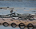 Heron on Lobster Traps - panoramio.jpg