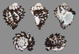 <i>Muricanthus</i> Genus of gastropods