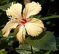 Hibiscus Mango Dainty (2).jpg