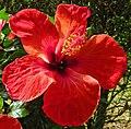Hibiscus rosa-sinensis 'Kyoto Red' flower.jpg