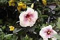 Hibiscus rosa-sinensis Smokey Mountain 1zz.jpg