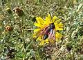 Hieracium umbellatum - Schirm-Habichtskraut -L'Epervière en ombelle - Schermhavikskruid - Hawkweed (cropped).JPG