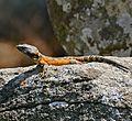 Highveld Crag Lizard (Pseudocordylus melanotus) male (32156537260).jpg