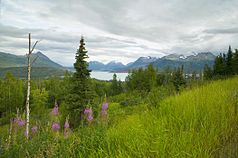 Hillside with Fireweed.jpg