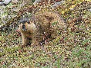Himalayan marmot - Image: Himalayan Marmot at Tshophu Lake Bhutan 091007 b