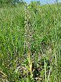Himantoglossum adriaticum sl27.jpg