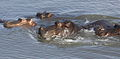 Hippos in the water (12255643434).jpg