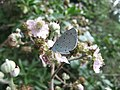 Holly blue butterfly (Celastrina argiolus), Sandy, Bedfordshire (4854334315).jpg