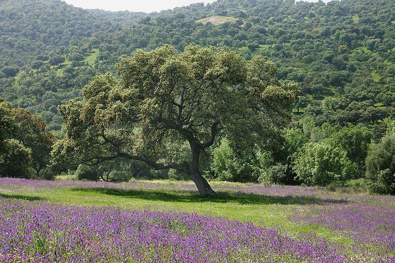 File:Holm oak Andalusia.JPG
