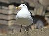 Hopping gull, William Brown Street.jpg