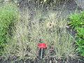 Hordeum secalinum - Botanischer Garten, Frankfurt am Main - DSC03223.JPG