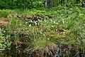 Horodok Manevytskyi Volynska-Horodotskyi nature reserve-Eriophorum.jpg