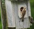 House Sparrow feeding chicks (4591164119).jpg