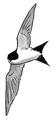 Huiszwaluw Delichon urbica Jos Zwarts 7.tif