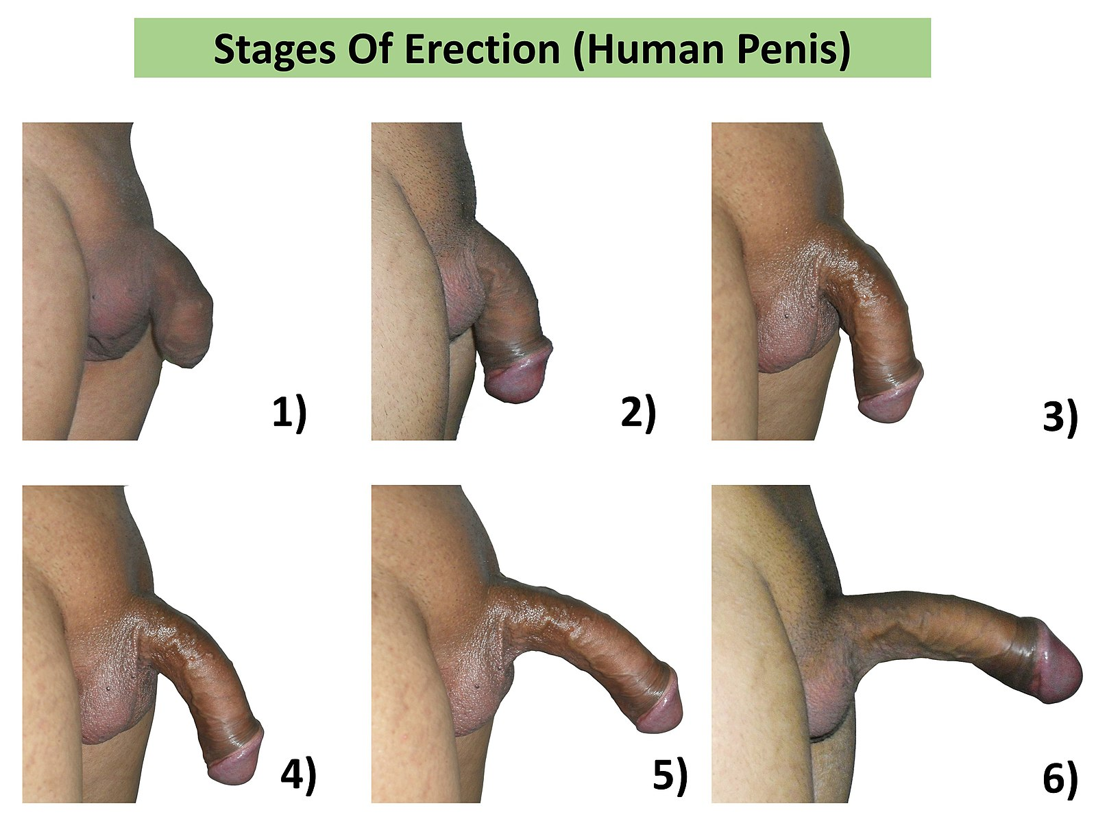 Penis erection process