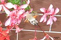 Hummingbird hawk-moth (NH140) (11156384016).jpg