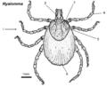Hyalomma-female-dorsal.png