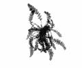 Hymenophyllopsidaceae Species.png