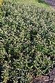 Hypericum calycinum 4zz.jpg