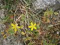 Hypericum humifusum 02.JPG