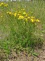 Hypericum perforatum plant5 (14632472405).jpg