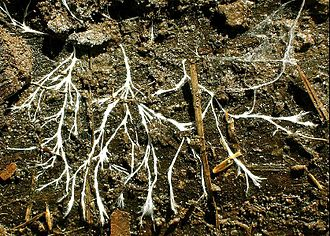 Saprotrophic nutrition - Mycelial cord made up of a collection of hyphae; an essential part in the process of saprotrophic nutrition, it is used for the intake of organic matter through its cell wall. The network of hyphae is referred to as a mycelium, which is fundamental to fungal nutrition.